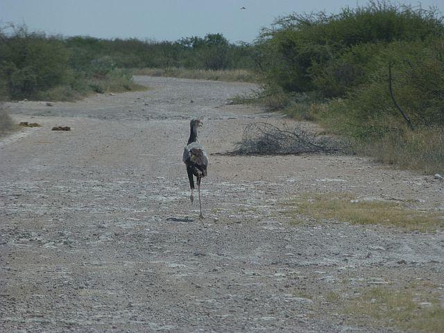 de secretarybird, net een voorhistorische vogel