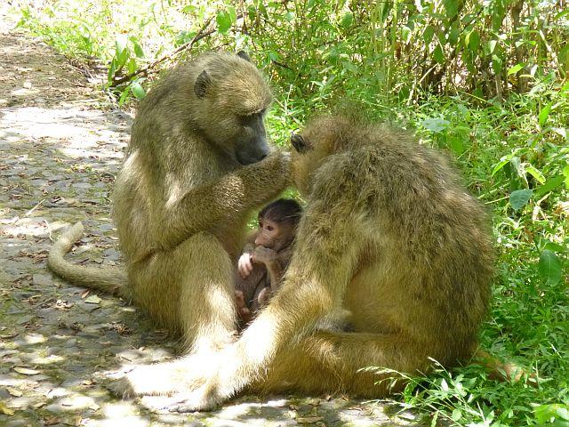gezinnetje bavianen