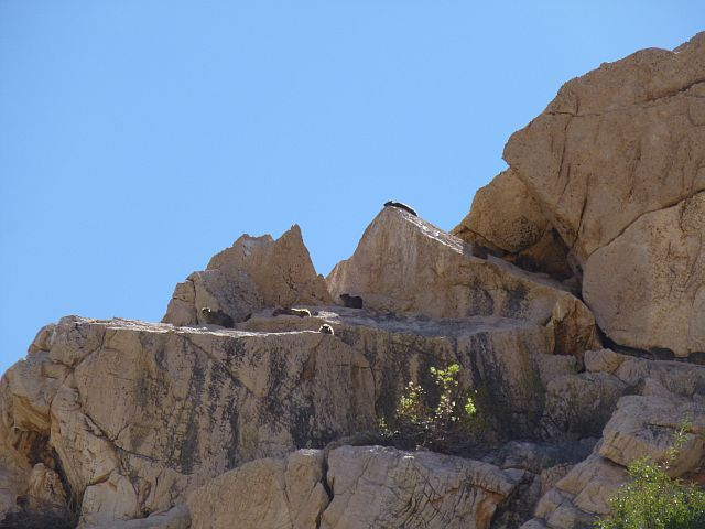 rock dassies, natuurlijk op de rotsen